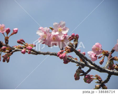 開花した稲毛海岸駅前のカワヅザク 38686714