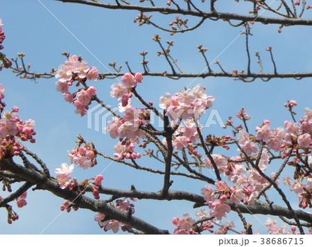 開花した稲毛海岸駅前のカワヅザク 38686715