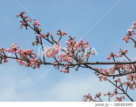 開花した稲毛海岸駅前のカワヅザク 38686898