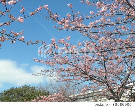 開花した稲毛海岸駅前のカワヅザク 38686900