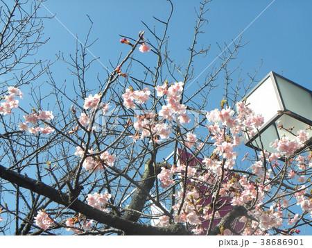 開花した稲毛海岸駅前のカワヅザク 38686901