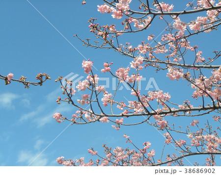 開花した稲毛海岸駅前のカワヅザク 38686902