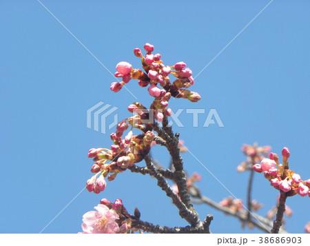 開花した稲毛海岸駅前のカワヅザク 38686903