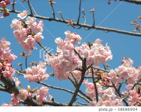 開花した稲毛海岸駅前のカワヅザク 38686904