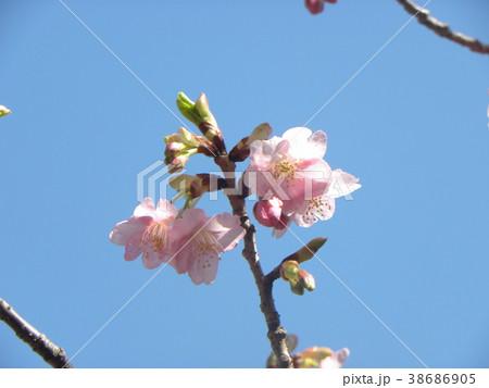 開花した稲毛海岸駅前のカワヅザク 38686905