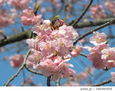 開花した稲毛海岸駅前のカワヅザク 38686906