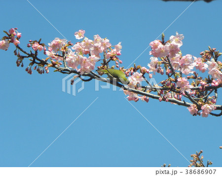開花した稲毛海岸駅前のカワヅザク 38686907