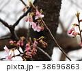 河津桜 花 蕾の写真 38696863