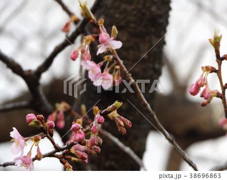 咲き始めた稲毛海岸駅前カワヅザク 38696863
