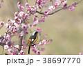 紅梅とジョウビタキ 38697770