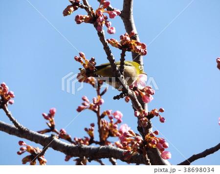 咲き始めた稲毛海岸駅前カワヅザクに来たメジロ 38698034