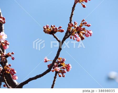 咲き始めた稲毛海岸駅前カワヅザク 38698035