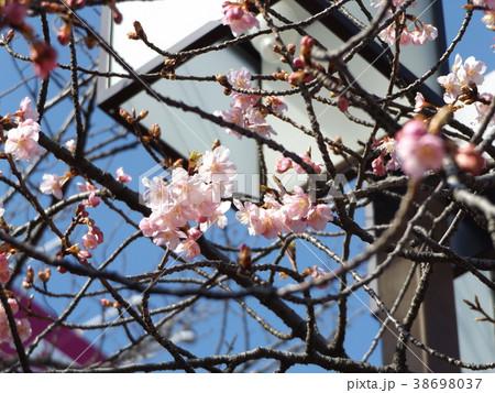 咲き始めた稲毛海岸駅前カワヅザク 38698037