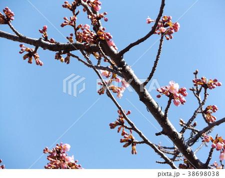 咲き始めた稲毛海岸駅前カワヅザク 38698038