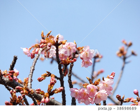 稲毛海岸駅前カワヅザクラ綺麗に咲いています 38698689