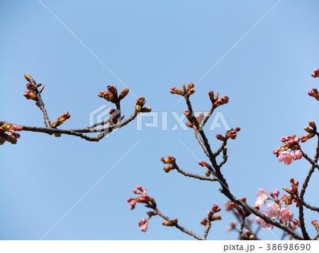 稲毛海岸駅前カワヅザクラ綺麗に咲いています 38698690