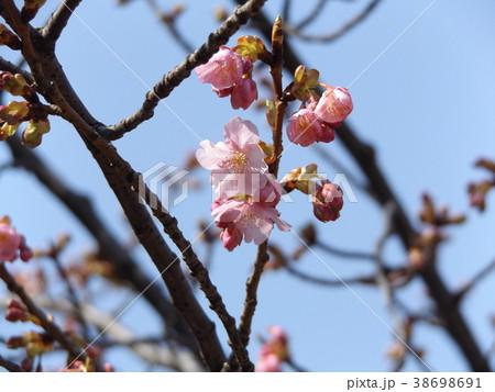 稲毛海岸駅前カワヅザクラ綺麗に咲いています 38698691