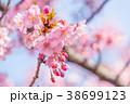 桜 河津桜 花の写真 38699123