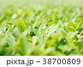 緑色の葉 緑葉 青葉の写真 38700809