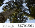 杉の木 38701561
