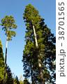 杉の木 38701565
