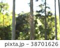 蜘蛛の巣と杉の葉 38701626