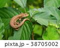 トカゲ ニホンカナヘビ カナヘビの写真 38705002