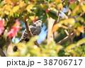 ピンク色の椿の花にひよどり 38706717