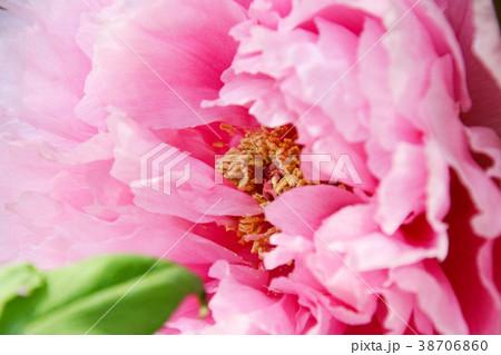 ピンクの牡丹の花のクローズアップ 38706860