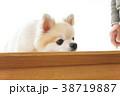可愛い室内犬 38719887