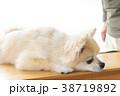 可愛い室内犬 38719892