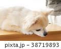 可愛い室内犬 38719893