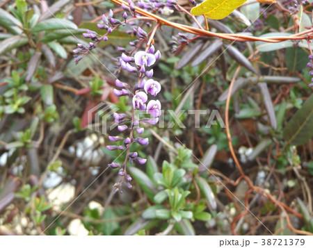 この紫色の花のつる性植物はハーデンベルギア 38721379