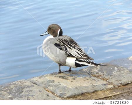 稲毛海浜公園の池に来た冬の渡り鳥オナガガモ 38721380