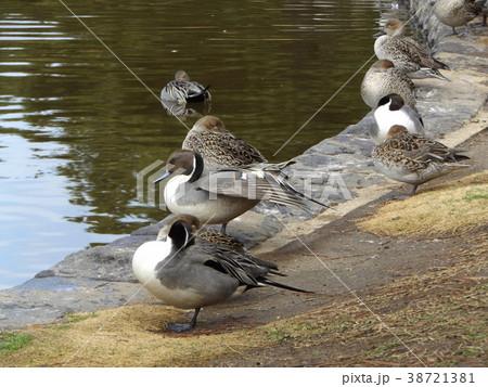 稲毛海浜公園の池に来た冬の渡り鳥オナガガモ 38721381
