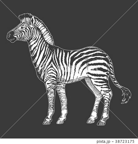 Zoo. African fauna. Zebra horse. Hand drawn 38723175