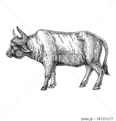 Zoo. African fauna. Bull, ox, buffalo. Hand drawn 38723177