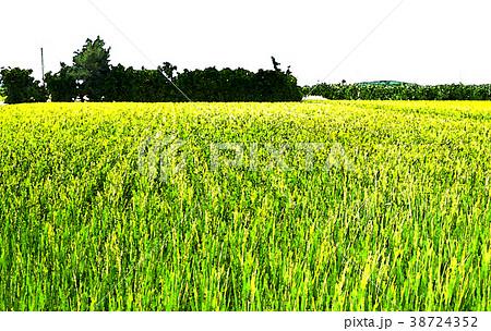 稻田 38724352