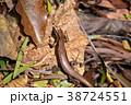 とかげ 蜥蜴 トカゲの写真 38724551