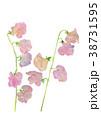 スイートピー 花 植物のイラスト 38731595