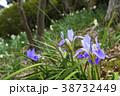 寒咲き菖蒲 菖蒲 花の写真 38732449