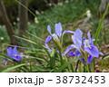 寒咲き菖蒲 菖蒲 花の写真 38732453