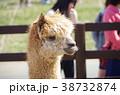 アルパカ 動物 動物園の写真 38732874