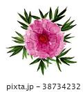 牡丹 花 植物のイラスト 38734232