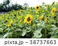 ヒマワリ 向日葵畑 花の写真 38737663