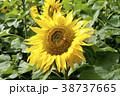 ヒマワリ 向日葵畑 花の写真 38737665