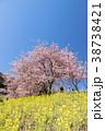 河津桜 桜 菜の花の写真 38738421