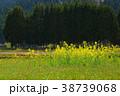 菜の花 春 花の写真 38739068