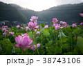 臼杵市 蓮 花の写真 38743106
