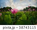 臼杵市 蓮 花の写真 38743115